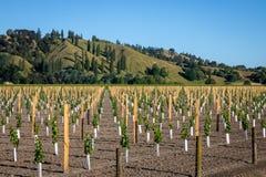 Новый виноградник засаживая на плоской земле фланкированной сельскими холмами залива бедности на Kaitaratahi, на окраинах Gisborn стоковые фотографии rf