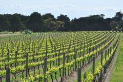 новый виноградник сезона Стоковые Изображения RF