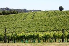 новый виноградник zealand Стоковые Фотографии RF