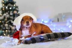 Новый Год Украшенная собака комнаты в шляпе santa лежа на подушке смотря предпосылку камеры любопытным запачканную концом-вверх стоковая фотография rf