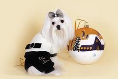 Новый Год милой собаки мальтийсный Стоковая Фотография RF