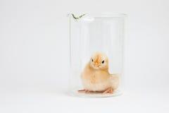 Новый желтый цыпленок в научном стеклоизделии Стоковое Фото