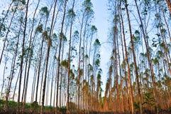 Взгляды дерева eucalypts для бумажной промышленности Стоковые Изображения