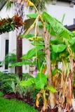 Новый, который выросли банан Стоковое Изображение RF