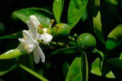 Новый оранжевый плодоовощ с белыми цветками Стоковая Фотография RF