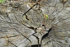 новый росток Стоковое Изображение