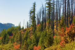 Новый рост в старом огне Forrest Стоковые Фотографии RF