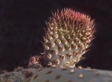 Новый рост на заводе кактуса Beavertail стоковое фото