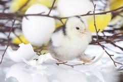 Новый цыпленок люка стоя рядом с яичком shells.GN Стоковые Изображения
