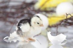Новый цыпленок люка стоя рядом с яичком shells.GN Стоковое Изображение RF