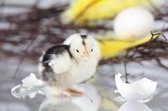 Новый цыпленок люка стоя рядом с яичком shells.GN Стоковое фото RF