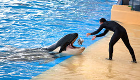 Новый экспонат океана косатки, Loro Parque Стоковое фото RF