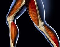 нога анатомирования Стоковая Фотография