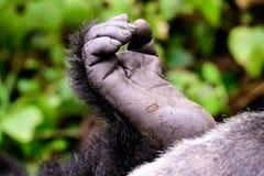 Нога гориллы горы Стоковые Фото