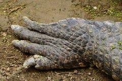 Нога крокодила Стоковое фото RF