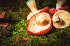 Нога свежей сыроежки гриба белая лежа на мхе Стоковое фото RF
