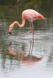 нога фламингоа длинняя Стоковые Фото