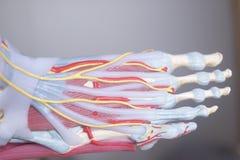 Нога человека toes модель стоковые изображения rf