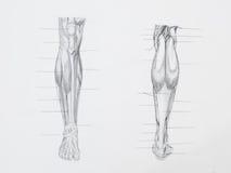 Нога muscles чертеж карандаша стоковая фотография
