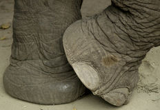 нога s слона стоковые изображения