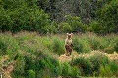 ноги аляскского коричневого цвета медведя задние Стоковые Изображения