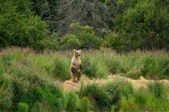 ноги аляскского коричневого цвета медведя задние Стоковое Фото