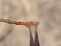 Ноги летучей мыши Всход макроса Стоковая Фотография