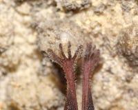 Ноги летучей мыши Всход макроса Стоковое Изображение