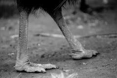 Ноги казуары Стоковые Изображения RF