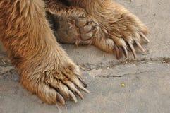 Ноги медведя Стоковые Фото