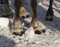 Ноги северного оленя Стоковые Изображения