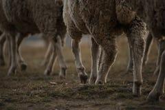 Ноги стада африканских овец Merino Стоковая Фотография