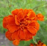 Ноготки в цветении Стоковая Фотография RF