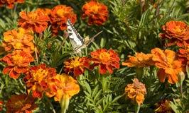 Ноготки и бабочка Стоковые Фотографии RF