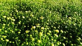 ноготки красоты зеленые желтые в саде Стоковое Изображение RF