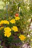 Ноготки растя с томатами как засаживать товарища стоковое изображение rf