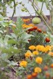 ноготки товарища засаживая томаты стоковые фотографии rf