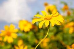 Ноготк дерева крупного плана одиночные желтые или солнцецвет Maxican стоковое изображение