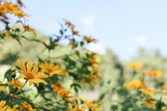 Ноготк дерева, мексиканское tournesol, мексиканский солнцецвет, японский su Стоковые Фото