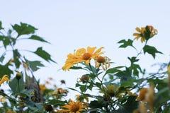 Ноготк дерева, мексиканское tournesol, мексиканский солнцецвет, японский su Стоковая Фотография