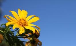 Ноготк дерева, мексиканское tournesol, мексиканский солнцецвет, японский su Стоковые Изображения