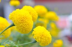 Ноготк завод в саде на лете под солнечным светом, типично с yellowl, предпосылка природы, абстрактные предпосылки, отборный фокус стоковые изображения