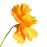 Ноготк. красивейший померанцовый цветок Стоковая Фотография