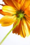 Ноготк. красивейший померанцовый цветок Стоковые Изображения RF