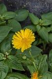Ноготк хворостины или officinalis Calendula цветут с цветенем в флористическом саде Стоковые Фото