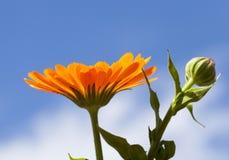 Ноготк цветка Стоковое Фото