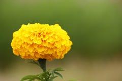 ноготк цветка Стоковое фото RF