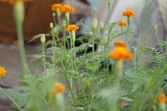 Ноготк, erecta Tagetes, зеленый цвет, сад, заводы, Стоковые Фотографии RF