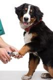 Ногти собаки вырезывания Veterinanian стоковое фото rf
