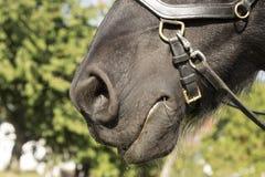 Ноздри черной лошади Стоковые Изображения RF